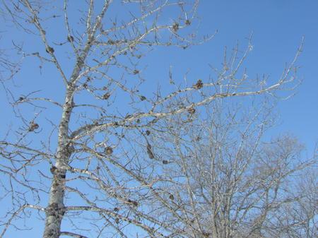 ヤチダモで、鳥の巣みたいなのは木のコブ