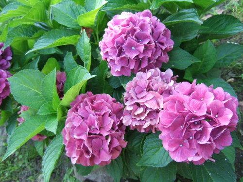 【ちろろルピガーデン】ピンクの紫陽花