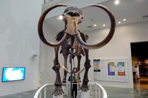 「北海道博物館~森のちゃれんが」実物大のマンモス象骨格のレプリカ