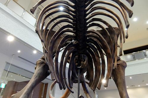 「北海道博物館~森のちゃれんが」マンモス象のお腹の下からの眺め