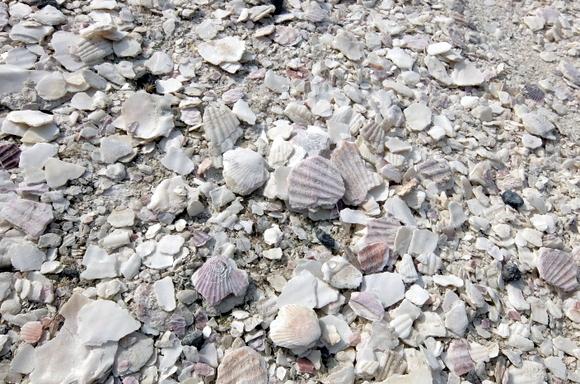 フットパスの白さの秘密はホタテの貝殻
