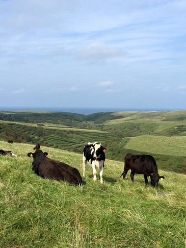 牧草をもりもり食べて育つ牛たち