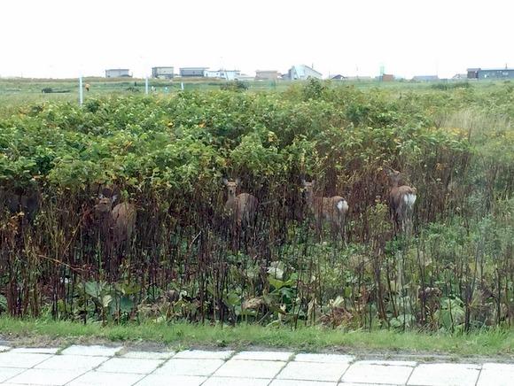 稚内の市内中心地で見かけた鹿たち