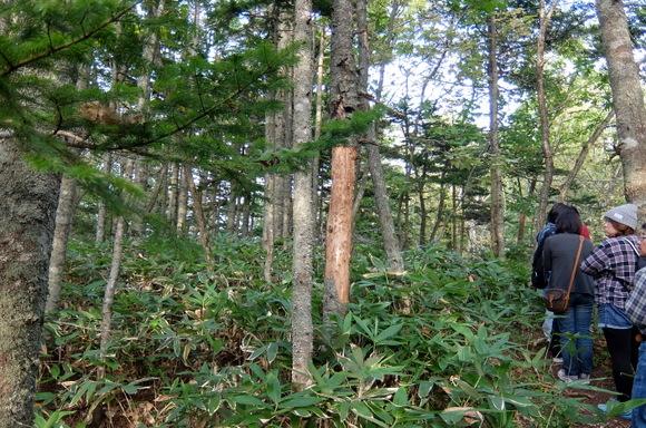 鹿の痕跡。木の皮が食べ尽くされている