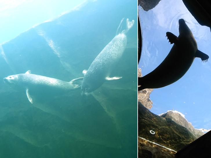 大水槽のゴマフアザラシ