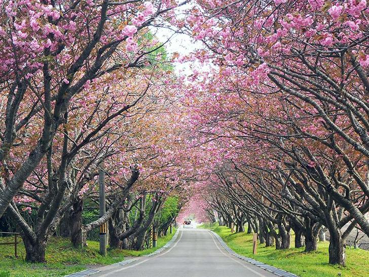 石崎地主海神社への参道は約200mの八重桜のトンネル