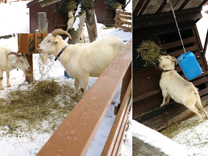 旭山動物園/ヤギ