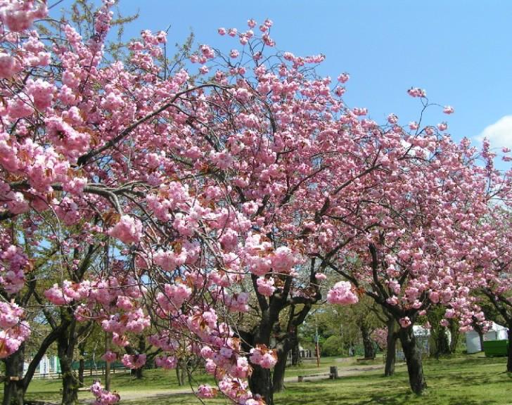 2019 もりまち桜まつり