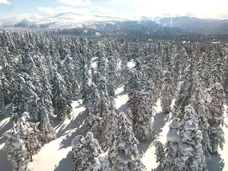 赤エゾマツの原生林!見渡す限りの樹氷
