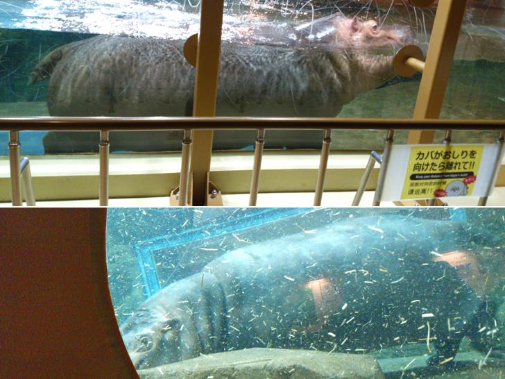 水中を泳ぐカバ