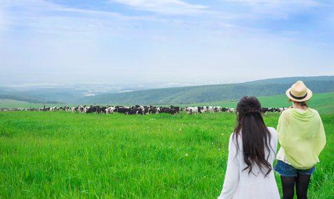 ナイタイ高原牧場の牛たち