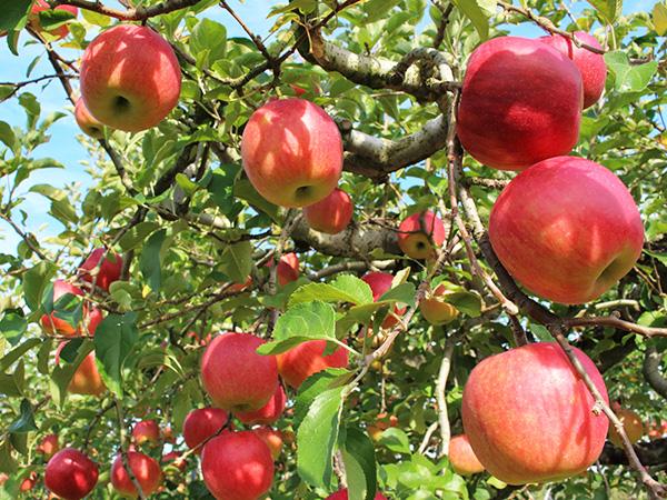 壮瞥町の果樹園は秋になるとりんごがたくさんなります