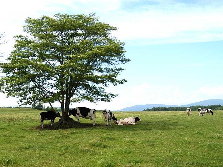 足寄町、のどかな牛の放牧風景