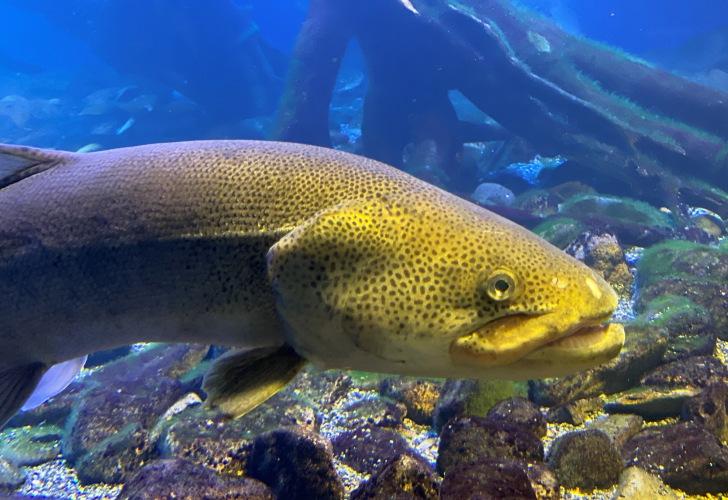 日本最大の淡水魚、イトウ。漢字では魚へんに鬼と書きます。