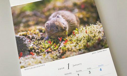 ナキウサギのカレンダー1月